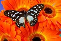 The Veined Swordtail Butterfly Fine-Art Print