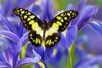 Electric Green Swallowtail Butterfly Fine-Art Print