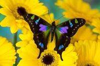 Purple Spotted Swallowtail Butterfly Fine-Art Print