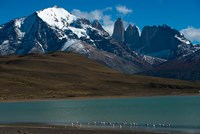 Chilean Flamingo On Blue Lake, Torres Del Paine NP, Patagonia Fine-Art Print