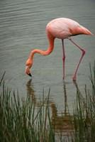 Greater Flamingo, Punta Moreno Isabela Island Galapagos Islands, Ecuador Fine-Art Print