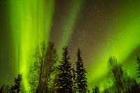 Alaska Aurora Borealis Over Forest Fine-Art Print
