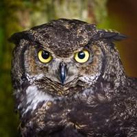Alaska Raptor Center, Sitka, Alaska Close-Up Of A Great Horned Owl Fine-Art Print