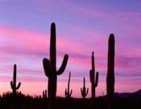 Arizona, Saguaro Cacti Silhouetted By Sunset, Ajo Mountain Loop Fine-Art Print