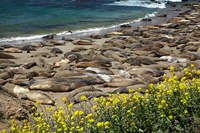 Northern Elephant Seals Sun Bathing In Cali Fine-Art Print