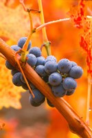 Dew Covered Grapes In Napa Valley Fine-Art Print