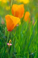 California Golden Poppies Fine-Art Print