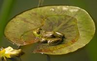 Californian Frog On A Lilypad Fine-Art Print