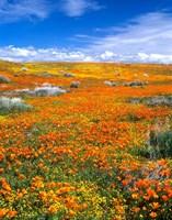 California Poppy Reserve Near Lancaster, California Fine-Art Print