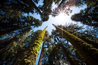 Upward View Of Trees In The Redwood National Park, California Fine-Art Print