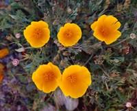 Yellow Desert Flowers Fine-Art Print