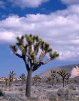 California, Joshua Tree NP, Near Hidden Valley Fine-Art Print