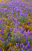 Californian Poppies And Lupine Fine-Art Print
