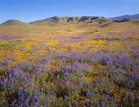 Wildflowers Bloom Beneath The Caliente Range, California Fine-Art Print