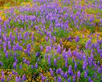 Carrizo Plain National Monument Lupine And Poppies Fine-Art Print