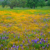 Lupine And Goldfields At Shell Creek Valley, California Fine-Art Print