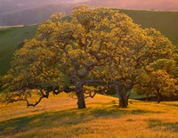 Sunset Soaked Oak Trees, California Fine-Art Print