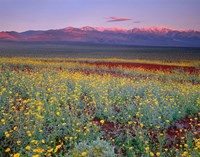Desert Sunflower Landscape, Death Valley NP, California Fine-Art Print