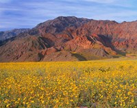 Black Mountains And Desert Sunflowers, Death Valley NP, California Fine-Art Print