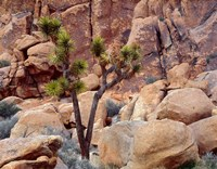 Lone Joshua Trees Growing In Boulders, Hidden Valley, California Fine-Art Print