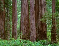 Redwoods Tower Above Ferns At The Stout Grove, California Fine-Art Print