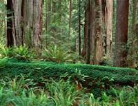 Prairie Creek Redwoods State Park, California Fine-Art Print