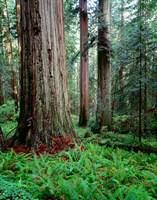 Prairie Creek Redwoods Sp, California Fine-Art Print