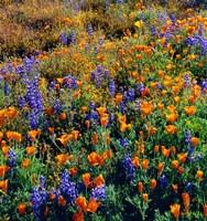 Douglas Lupine And California Poppy In Carrizo Plain National Monument Fine-Art Print