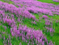 Spring Lupine Meadow In The Bald Hills, California Fine-Art Print