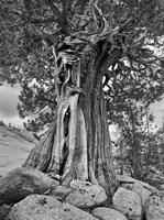 California, High Sierra Juniper Tree (BW) Fine-Art Print