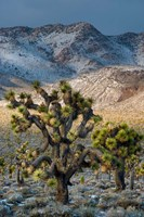 Joshua Trees In The Snow Fine-Art Print