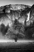 Misty Californian Oak (BW) Fine-Art Print