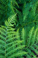 Bracken Fern In Nature Fine-Art Print