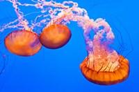 Three Sea Nettles At The Monterey Bay Aquarium Fine-Art Print