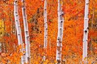 Bright Autumn Aspens Along Bishop Creek Fine-Art Print