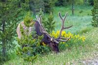 Bull Elk Grazing In Rocky Mountain National Park Fine-Art Print
