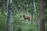 Cinnamon Phase Black Bear In A Forest Fine-Art Print