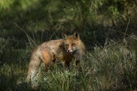 Red Fox In A Meadow Fine-Art Print