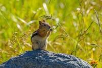 Golden-Mantled Ground Squirrel Eating Grass Seeds Fine-Art Print