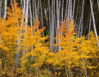 Autumn Aspen Grove In The Grand Mesa National Forest Fine-Art Print