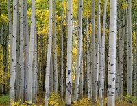 Aspen Displays Fall Color In The West Elk Mountains Fine-Art Print