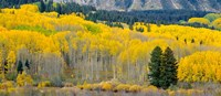 Autumn Grove Panorama At The Base Of The Ruby Range Fine-Art Print