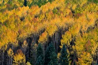 Golden Aspen Of The Uncompahgre National Forest Fine-Art Print