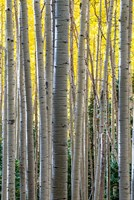 Gathering Of Yellow Aspen In The Uncompahgre National Forest Fine-Art Print