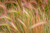 Fox-Tail Barley, Routt National Forest, Colorado Fine-Art Print