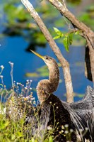 Anhinga In Everglades NP, Florida Fine-Art Print