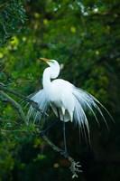 Egret In Breeding Plumage Fine-Art Print