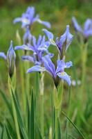Rocky Mountain Iris Fine-Art Print