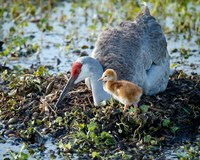 Sandhill Crane Waiting On Second Egg To Hatch, Florida Fine-Art Print