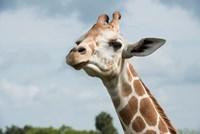 Close-Up Of Giraffe Against A Cloudy Sky Fine-Art Print